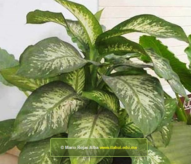 Galer a de im genes y fotograf as en herbolaria bd tlahui for Planta ornamental venenosa dieffenbachia