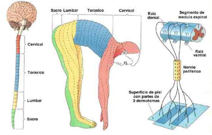Vistoso Cabeza Dermatomas Regalo - Anatomía de Las Imágenesdel ...