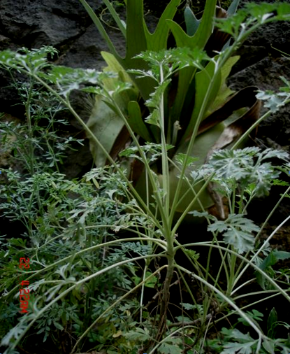 Plantas medicinales de mi jardín familiar, Xalapa, Veracruz, México ...