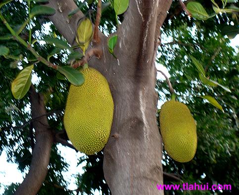 Propiedades Nutritivas Y Curativas Del árbol Del Pan O Yaca